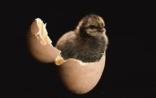 chick in the egg